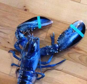Image: A blue lobster captured off the coast of Maine