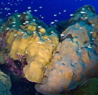 Image: Oribicella faveolata coral