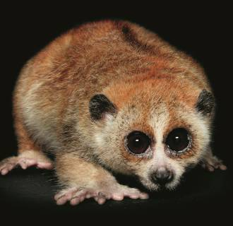 Image: The pygmy slow loris is found in the forests of Southeast Asia