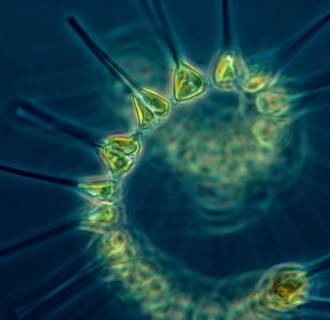 Image: Phytoplankton, the foundation of the oceanic food chain