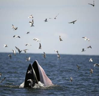 Image: Bryde's whale in the gulf of Thailand