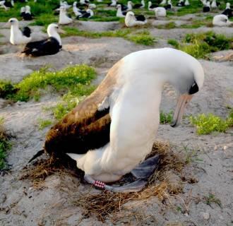 Image: Wisdom the Laysan albatross