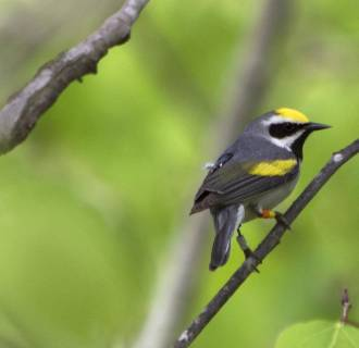 Image: Male golden-winged-warbler carries light-level geolocator and leg ID bands