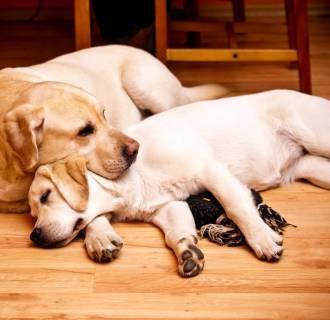 Image: Two labrador retrievers