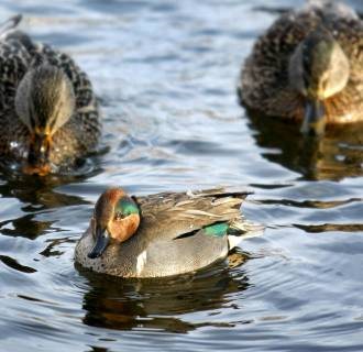 A green-winged teal