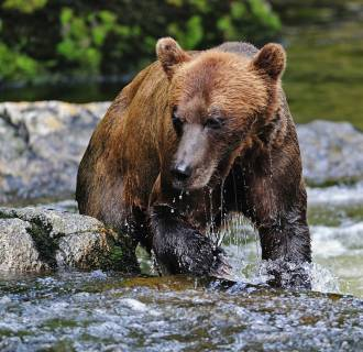 Image: A brown bear fishes for salmon in Alaska