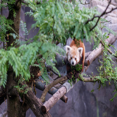 Rusty the runaway red panda found, safe and sound