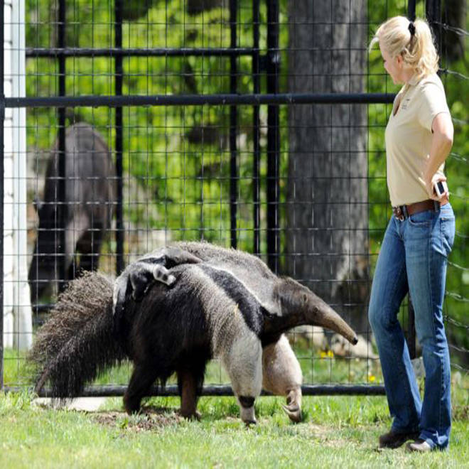 Virgin birth or hanky-panky? Anteater mom sparks a scientific debate