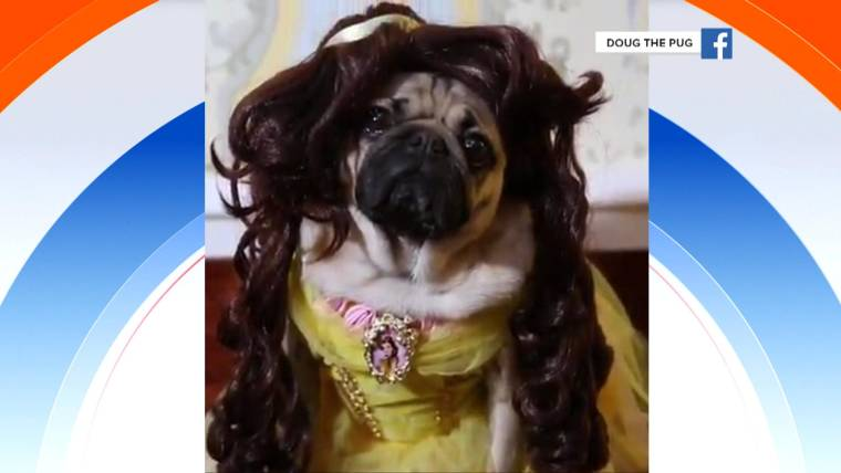 See doug the pug act out beauty and the beast his most pawsome movies m4hsunfo