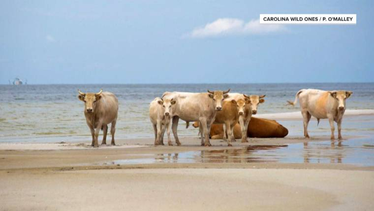 Cows swept away by Hurricane Dorian found 3 months after swimming to safety