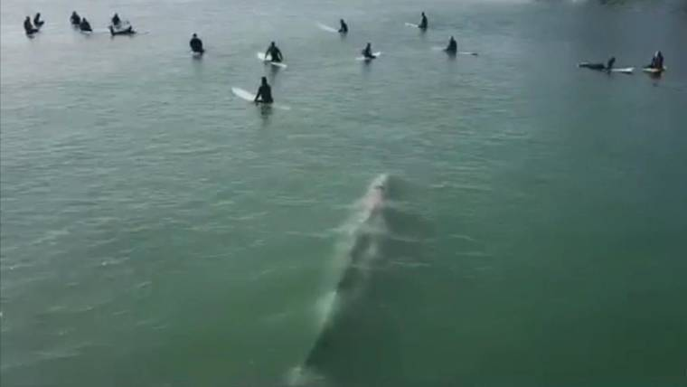 Watch giant whale swim under surfers in Southern California