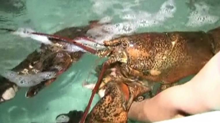 Lobster Population is Shifting North, Warming Oceans Blamed