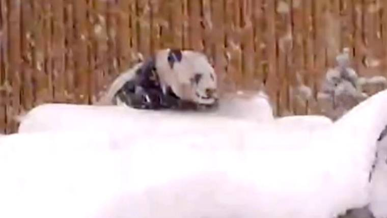 'He's a ham': Panda caught on camera playing in the snow